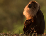 Icons of Anamalai – Lion Tailed Macaque